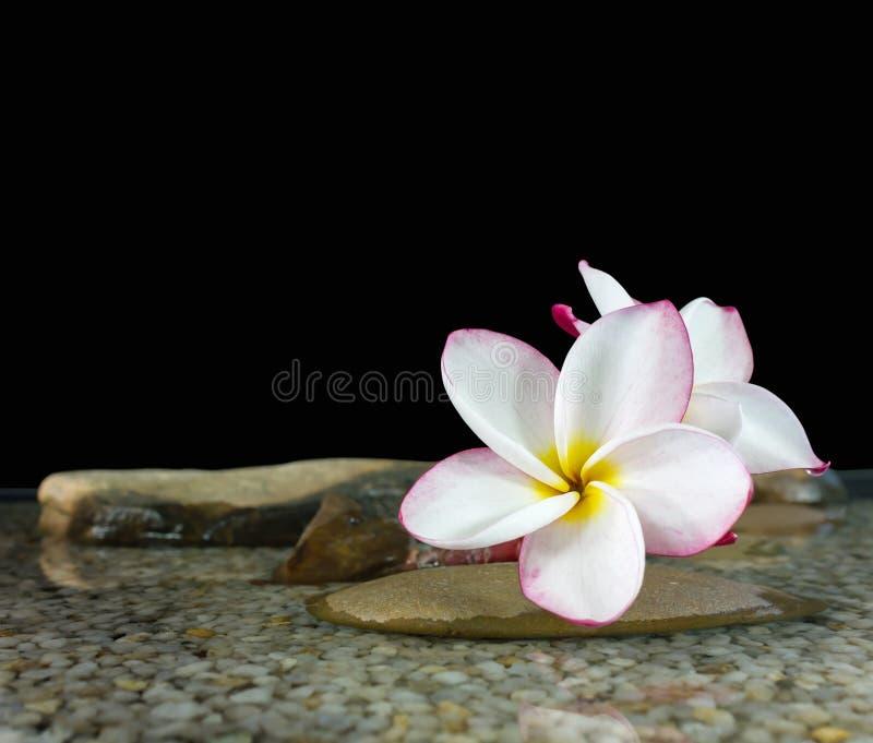 Plumeria jaune rose doux ou frangipani de fleur sur l'eau et le peb image stock
