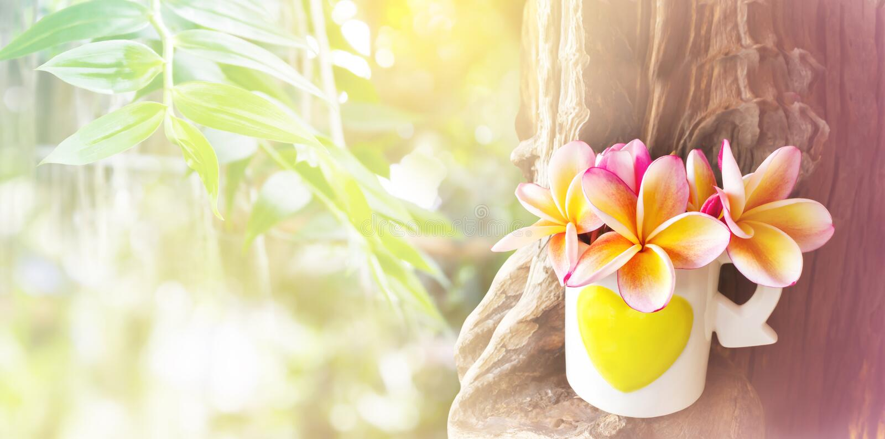 Plumeria jaune rose ou frangipani de fleur dans le beau bagout de coeur image stock
