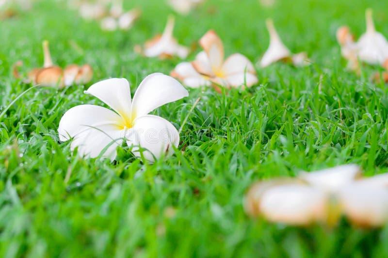 Plumeria kwiatów spadek zdjęcie royalty free
