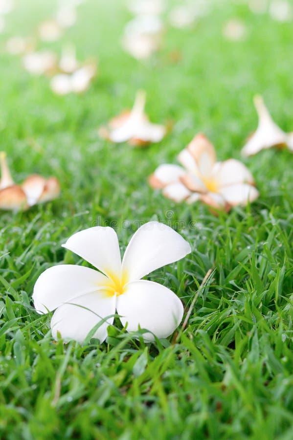 Plumeria kwiatów spadek fotografia stock