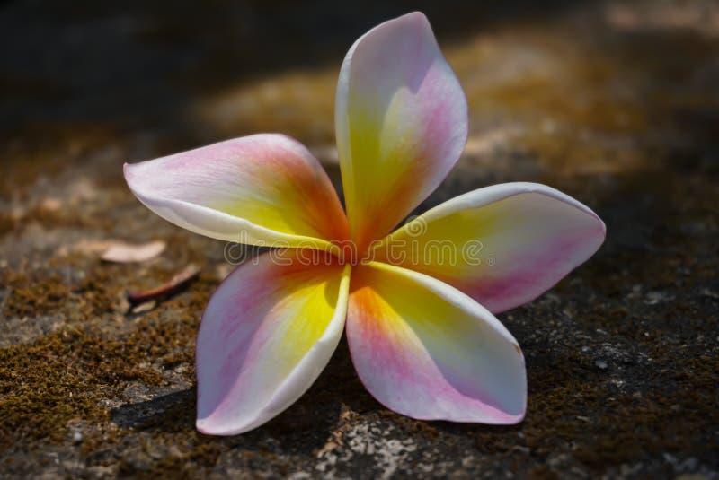 Plumeria kwiat falled na rockground zakończeniu up zdjęcie royalty free