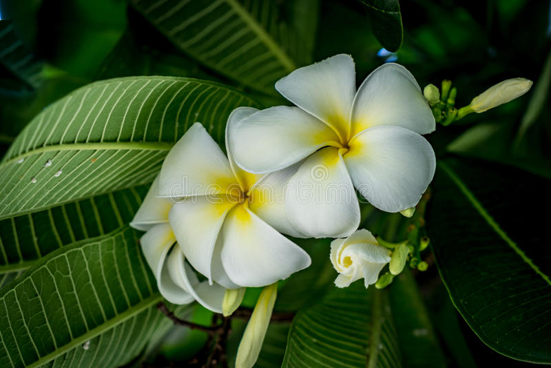 Plumeria kwiat na zamazanym liścia tle zdjęcia stock