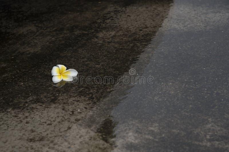 Plumeria kwiat w odbiciu i wodzie obraz royalty free