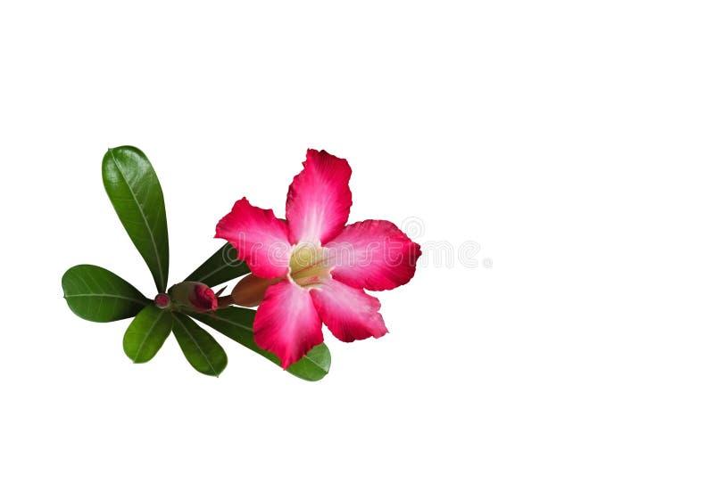 Plumeria kwiat z pączkami i zielenią Opuszcza Odosobniony na Białym Bac fotografia royalty free