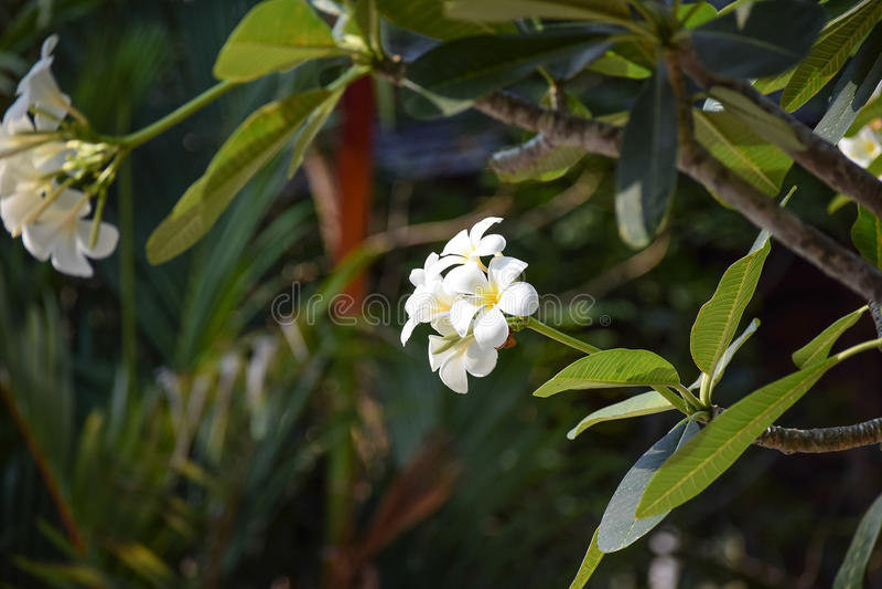 Plumeria kwiatu biel obrazy stock