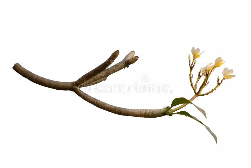 Plumeria kwiatu Frangipani, Świątynny drzewo odizolowywający na białym tle fotografia stock