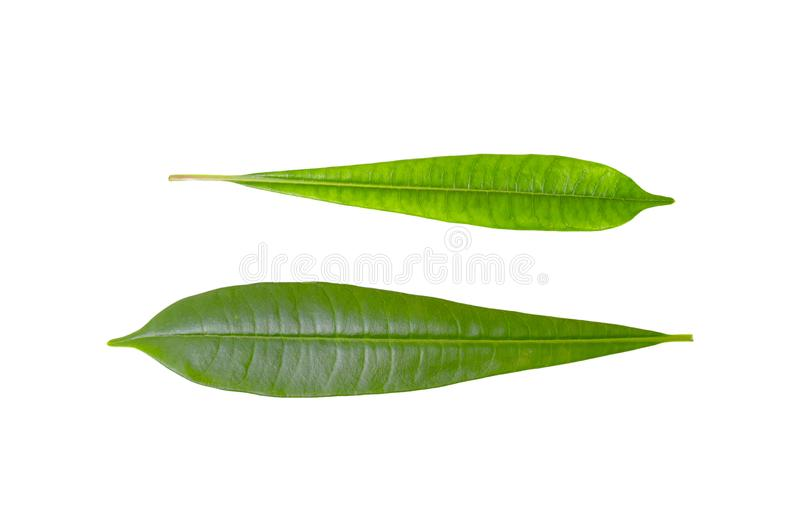 Plumeria leaf isolated on white background,Green leaves pattern,Front view stock images