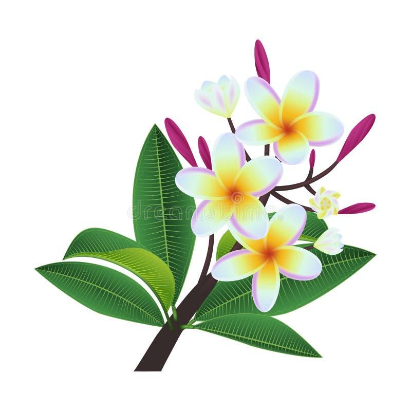 Plumeria li?cie i kwiaty royalty ilustracja