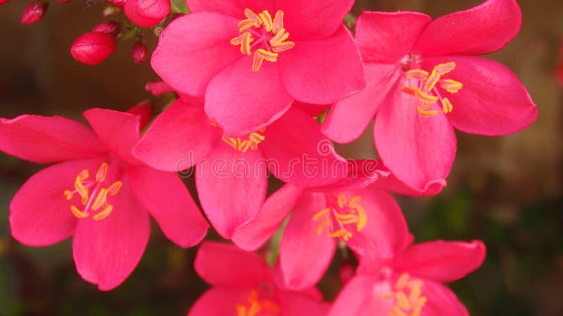 Plumeria lub frangipani kwiat, Tropikalny kwiat zdjęcie stock