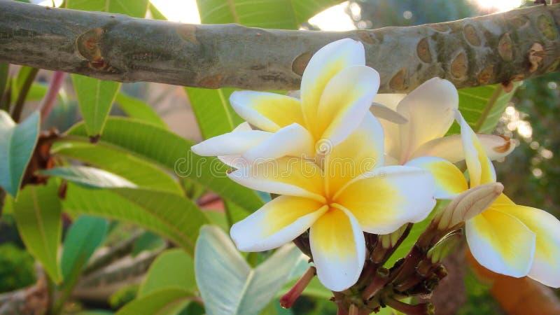 Plumeria lub frangipani kwiat, Tropikalny kwiat fotografia royalty free