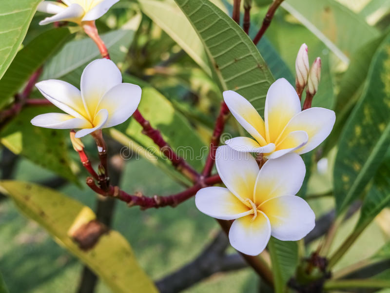 Plumeria. In morning stock image