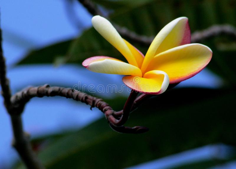 Plumeria. Is the national flower of the island of Saipan in the Northern Mariana Islands royalty free stock images