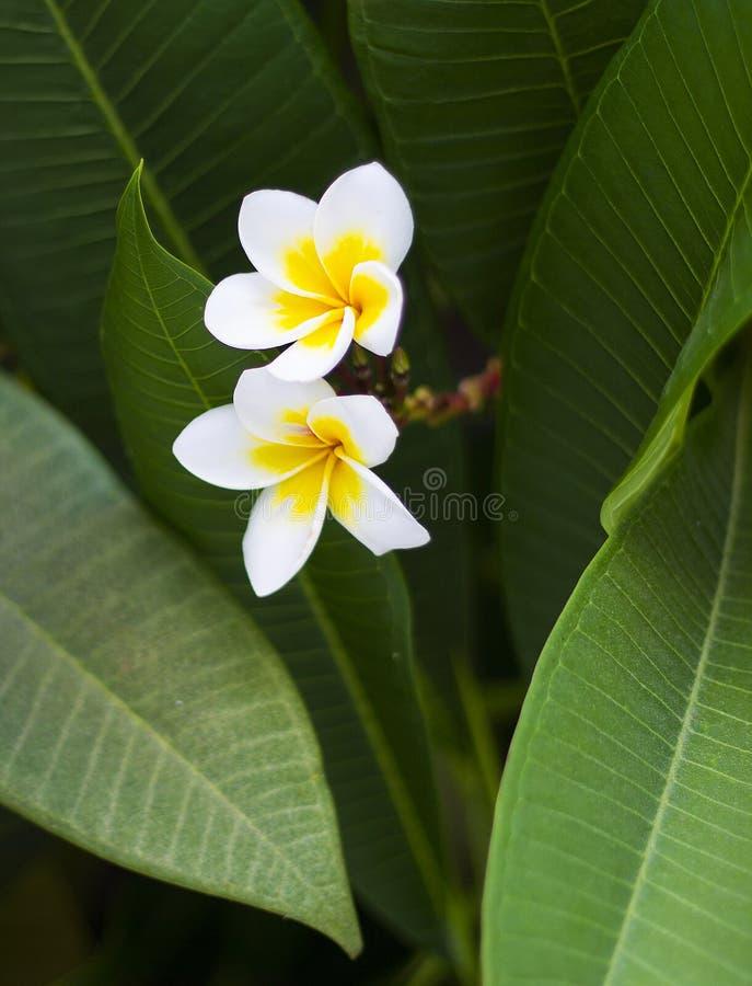 Plumeria o Frangipani de las flores blancas con el corazón amarillo en el árbol b fotografía de archivo libre de regalías
