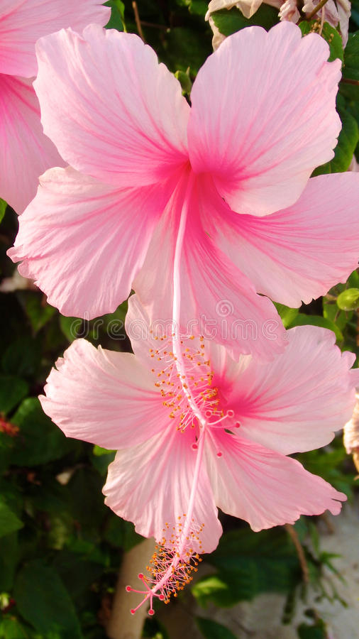 Plumeria oder Frangipaniblume, tropische Blume stockbild