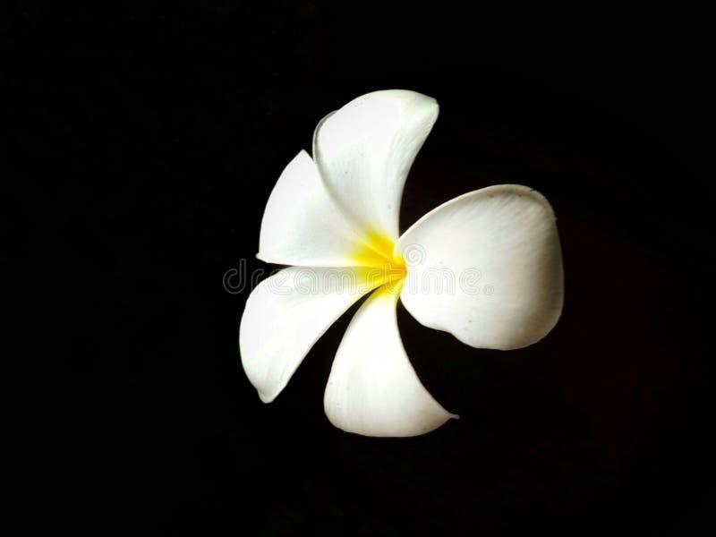 Plumeria odosobniony czarny tło zdjęcie royalty free