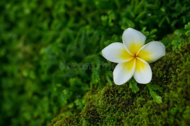 Plumeria op mos stock afbeelding