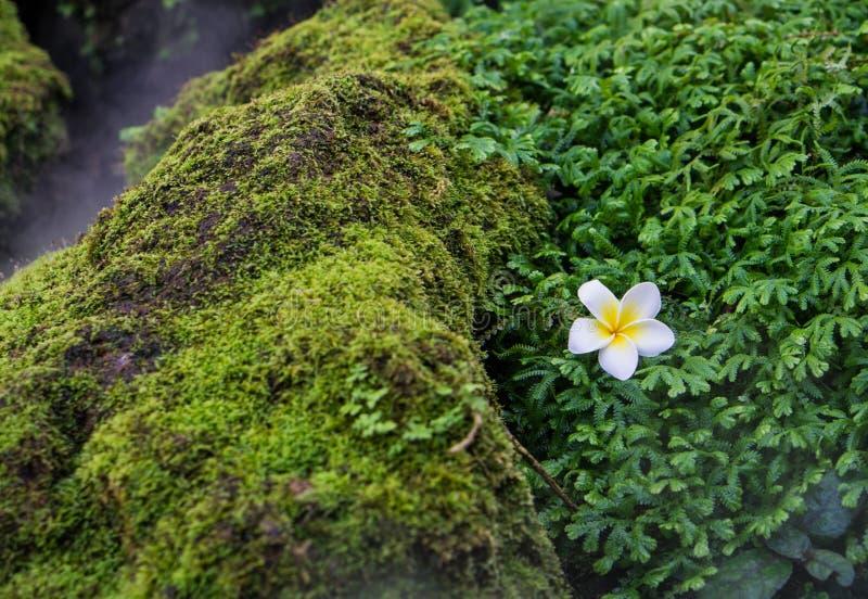 Plumeria op mos royalty-vrije stock afbeelding