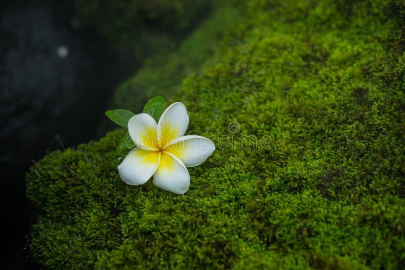 Plumeria op mos stock foto's