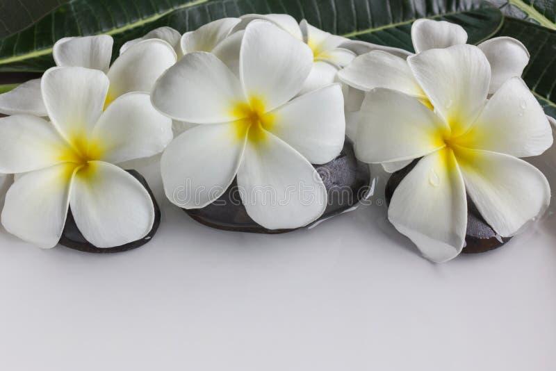 Plumeria ou frangipani das flores brancas na bandeja e na água brancas foto de stock