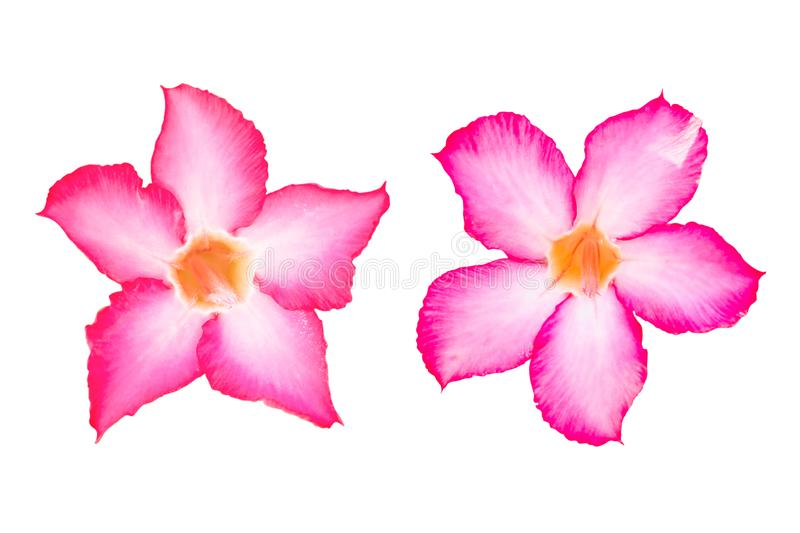 Plumeria pink flowers isolated on white background. With clipping path stock images
