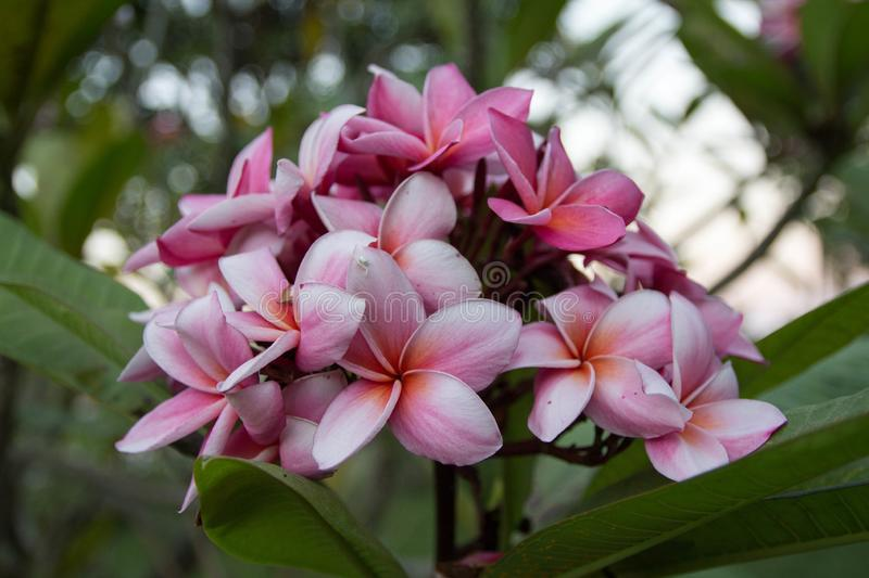 Plumeria. Flowers, bloom royalty free stock images
