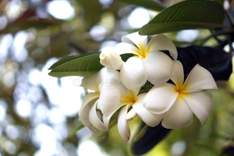 Plumeria, Pruimbloesem, Witte Bloemen stock foto's