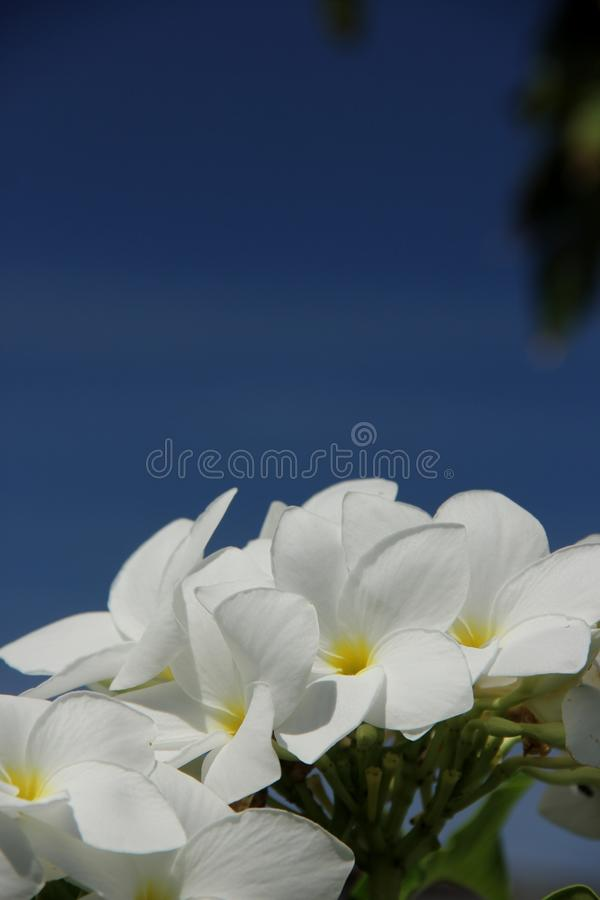 Plumeria Pudica стоковое фото
