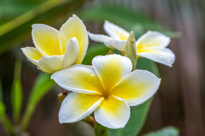 Plumeria In The Rain. Plumeria flower with drops of water after a rain shower on the island of maui, hawaii stock photo