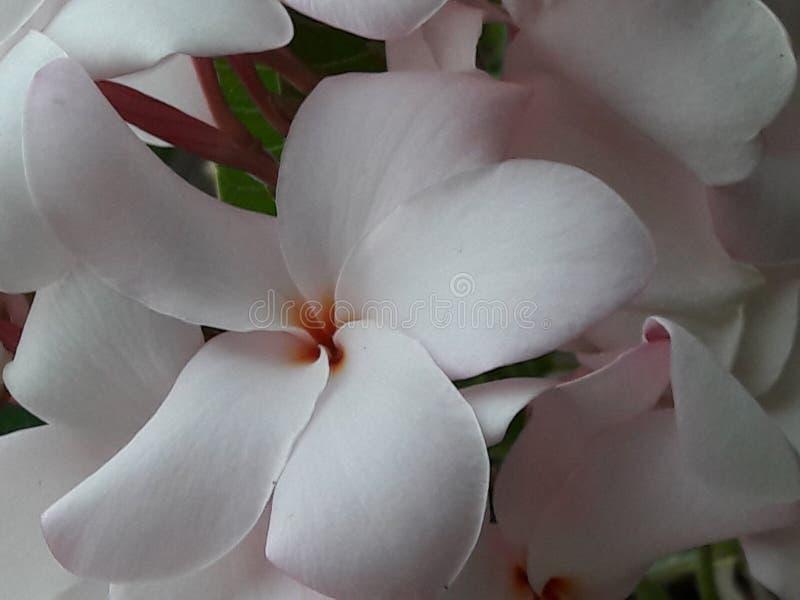 Plumeriarosa dolce, fiore immagine stock