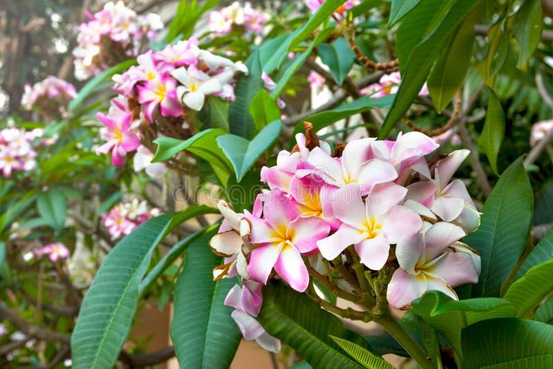 Plumeria rose de plan rapproché dans le jardin photographie stock