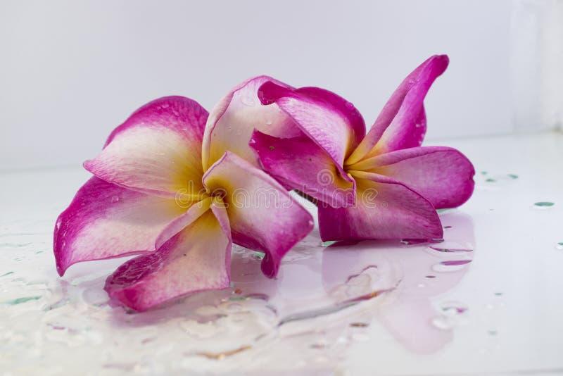 Plumeria rose sur l'arbre de plumeria photo stock