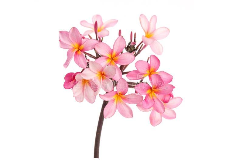Plumeria rose sur le fond blanc d'isolement images stock