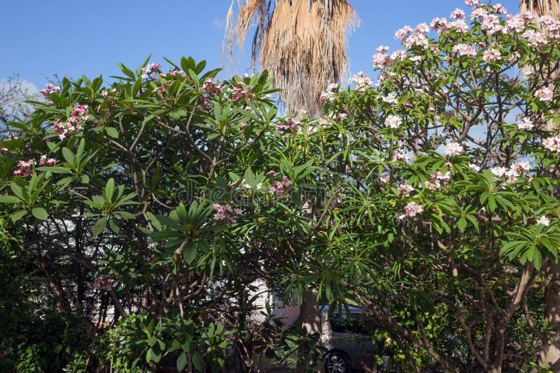 Plumeria Rubra Linn (Frangipani) är infödd till varma tropiska områden av de Stillahavs- öarna arkivbild