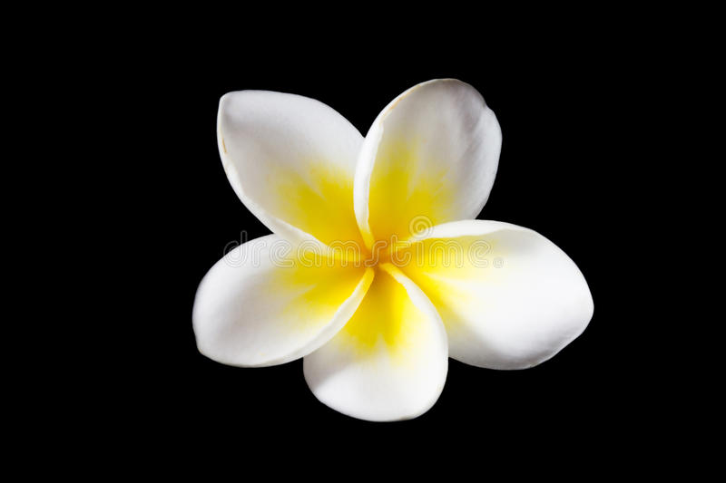 Plumeria. The single plumeria on black background (Isolated stock image
