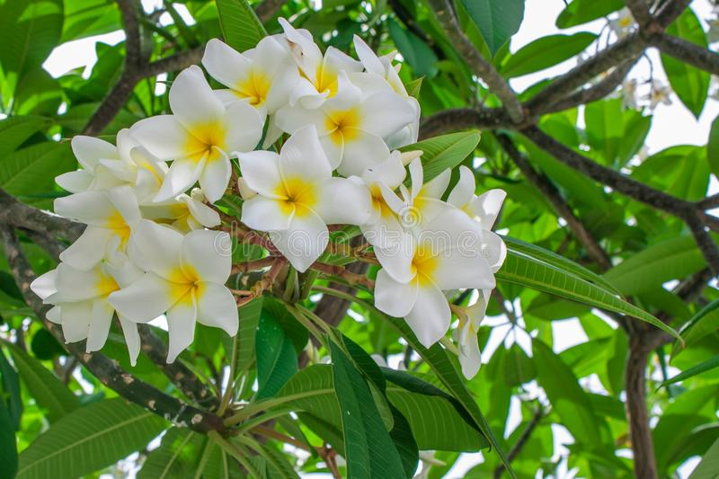 Plumeria. On the  tree, Frangipani tropical flowers stock photo