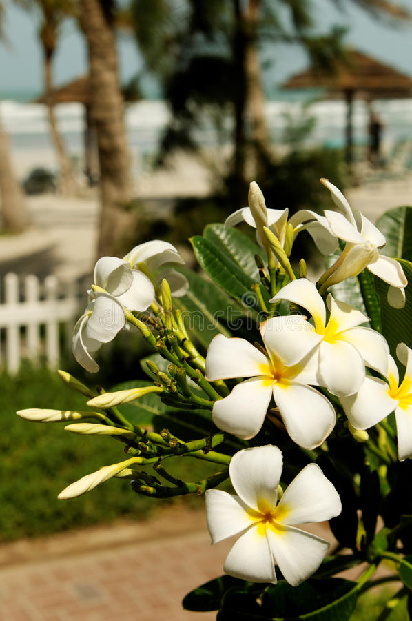 Plumeria on tropical beach. Details of white plumeria flowers with a tropical beach in the background royalty free stock photos