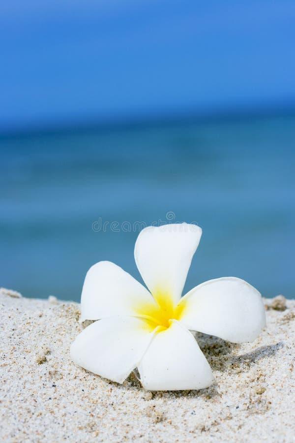 Plumeria tropical de fleur sur la plage photographie stock