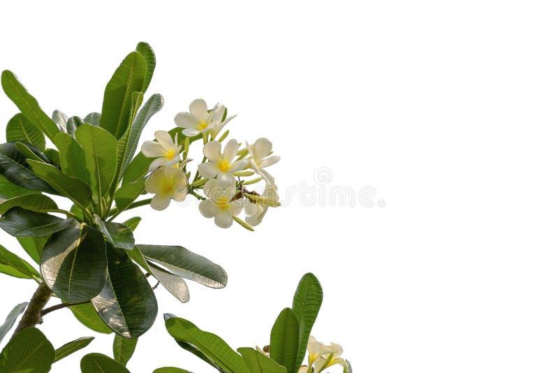 Plumeria tropical do frangipani das flores isolado no backgro branco imagem de stock