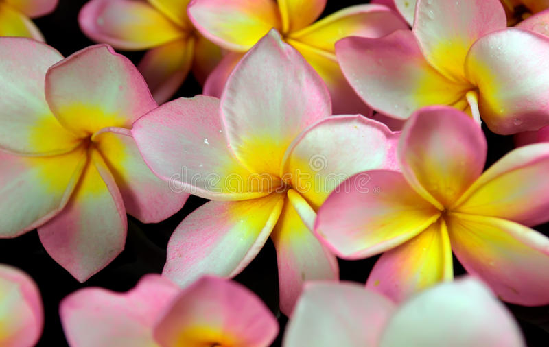 Download Plumeria tropical flower stock image. Image of flower - 14860675