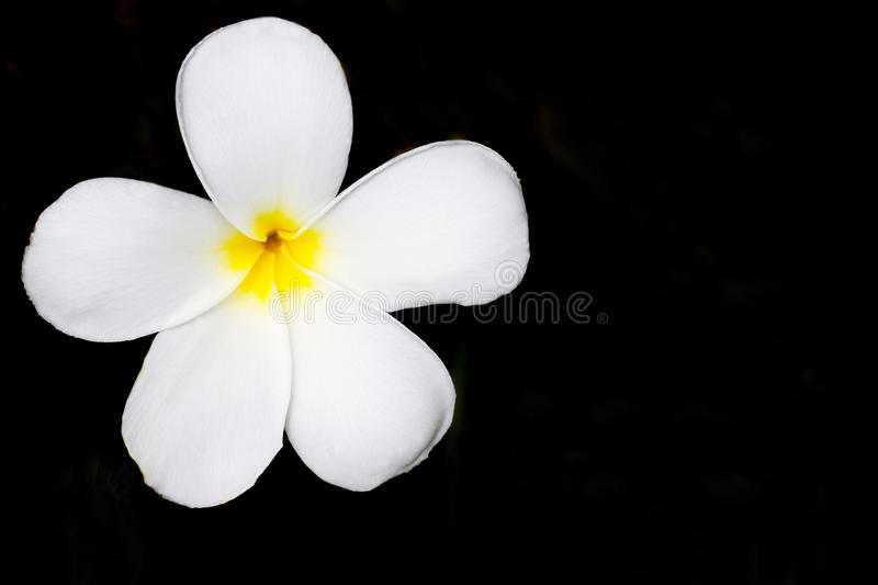 Plumeria. Tropical flower white frangipani (plumeria) isolated on black background royalty free stock photography