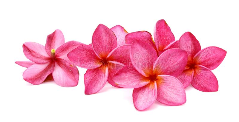 Plumeria. Tropical flowers frangipani plumeria isolated on white background. Beautiful, bali stock image