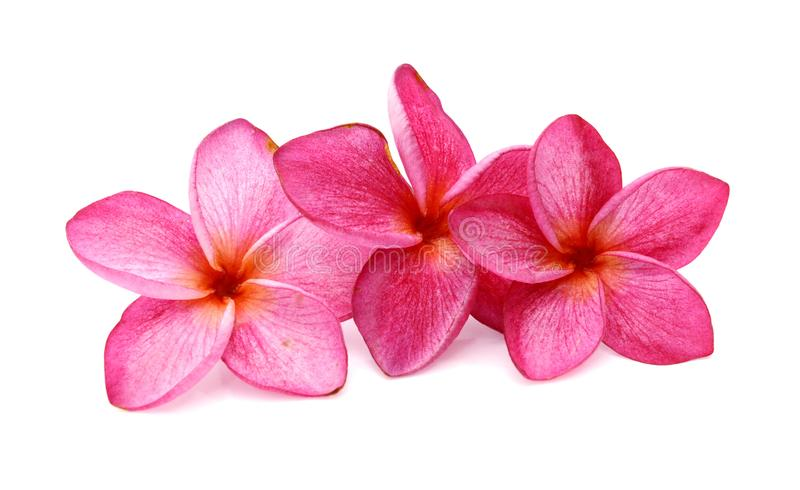 Plumeria. Tropical flowers frangipani plumeria isolated on white background. Beautiful, bali royalty free stock photography