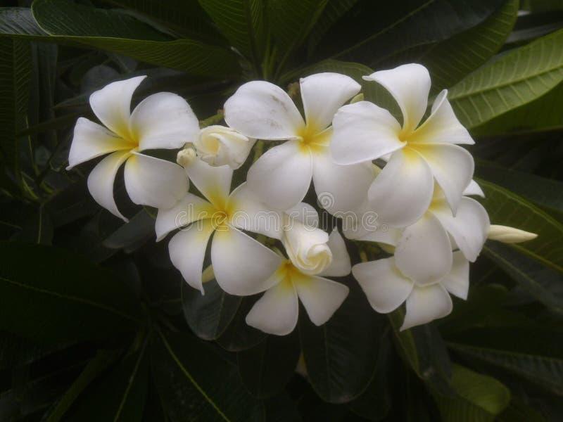 Plumeria vita blommor arkivbilder