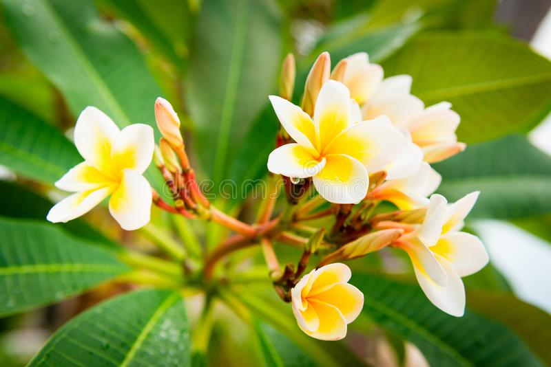 Plumeria yellow and white frangipani tropical spa flower. Blooming on tree stock photography