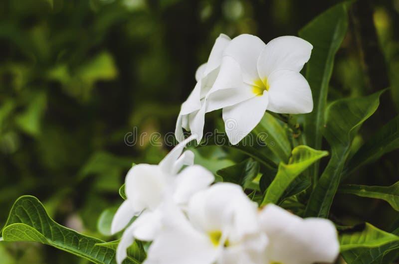 Plumeria Plumeria, zuivere witte frangipanibloem, bruids boeket, stock foto's