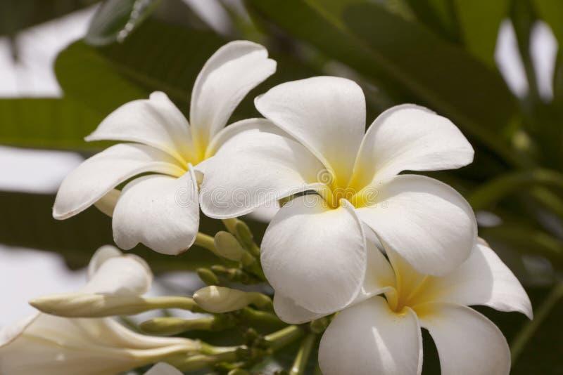 Plumeriabloem in de zomer royalty-vrije stock afbeeldingen