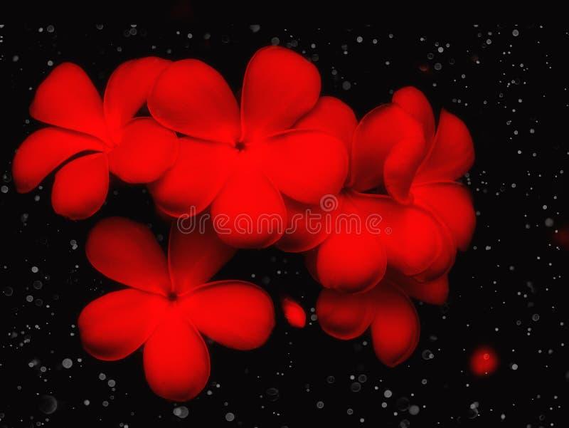 Plumeriabloem met bokehlicht op zwarte achtergrond royalty-vrije stock foto's