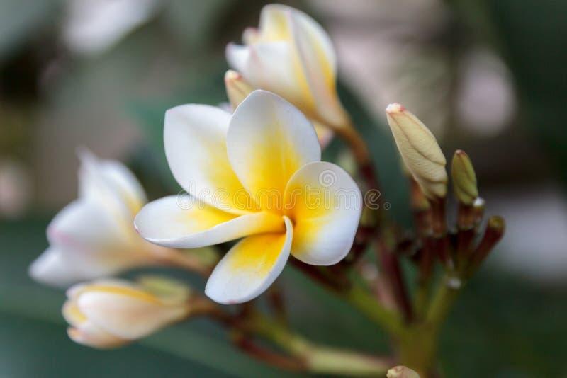 Plumeriabloem: nationaal bloemenembleem van Laos royalty-vrije stock afbeelding