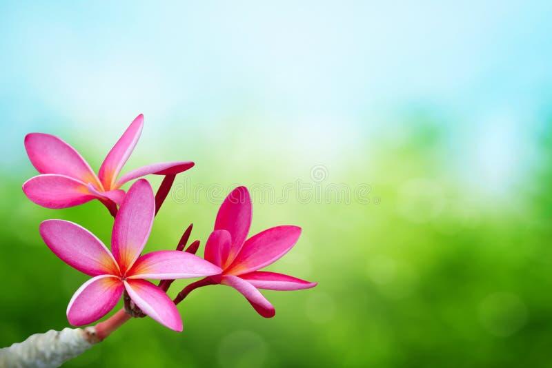Plumeriabloem op de lenteachtergrond royalty-vrije stock afbeelding