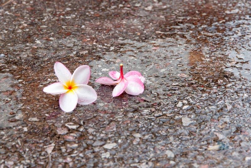 Plumeriabloem in regenachtig seizoen stock fotografie